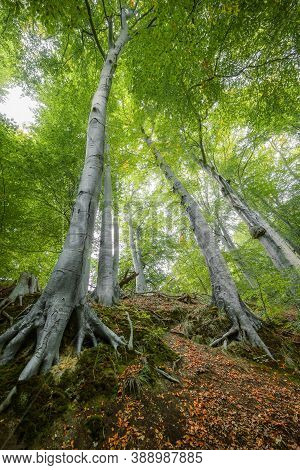 Old Beech Trees On A Hill With Roots, Trunks And Green Leaves In The Crowns Seen From Below In An En