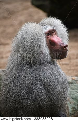 Close Up Rear Side View Of Hamadryas Baboon Male Looking Up At Camera, High Angle View