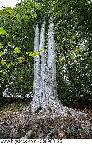 Three Beech Tree Trunks Grow Together With One Root And One Crown, Concept For Cohesion In Family An