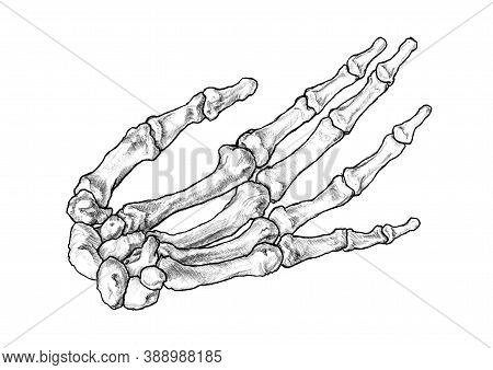 Freehand Observational Pencil Drawing Of Bones Forming The Left Human Hand. Finger Bones In Stretche