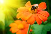 Bumble bee pollinating a flower lit by the sun poster