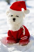 Christmas puppy, winter - portrait of Maltese puppy in Santa hat sitting in snow poster
