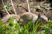 Closeup of California Ground Squirrel Spermophilus beecheyi poster