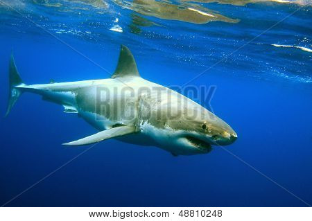 Great White Shark underwater picture. Picture taken at North Neptune Island ** Note: Slight graininess, best at smaller sizes