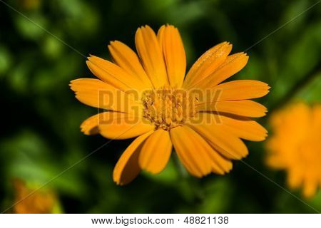 Yellow Camomile