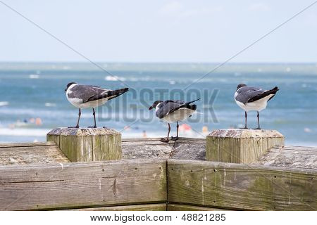 Three Laughing Gulls