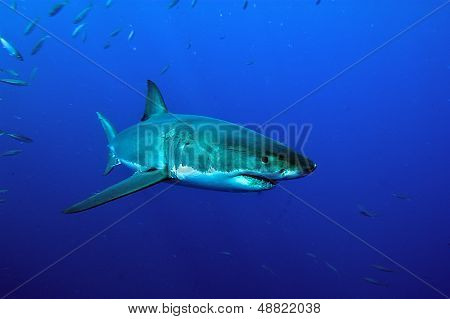 white Shark swimming