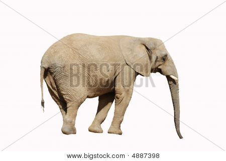 Elephant With Clipping Path