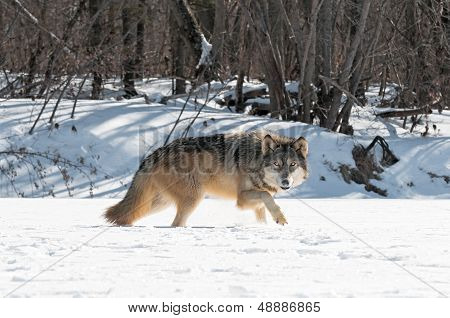 Grey Wolf (Canis lupus) Moves Right Along Snowy Riverbed - captive animal poster