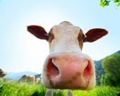 Head of cow walking on a green meadow at sunny day poster