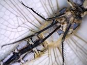 """A Very Close up view of parts of a Dragonfly taken with a Digital Microscope. Some 5680 different species of dragonflies (Odonata) are known in the world today.  Aka """"The Devils Darning Needle""""  poster"""