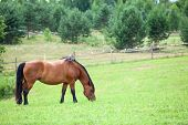 Calm chestnut horse with black mane grazing in field in summer. Copyspace poster