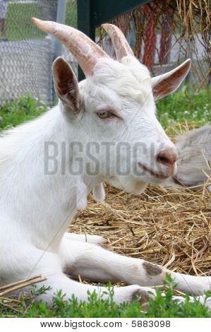 Young Male Goat