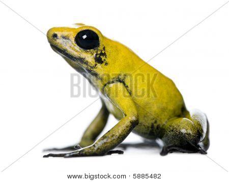 Side View Of Golden Poison Frog, Phyllobates Terribilis, Against White Background, Studio Shot