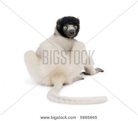 Young Crowned Sifaka, Propithecus Coronatus, 1 Year Old, Sitting Against White Background