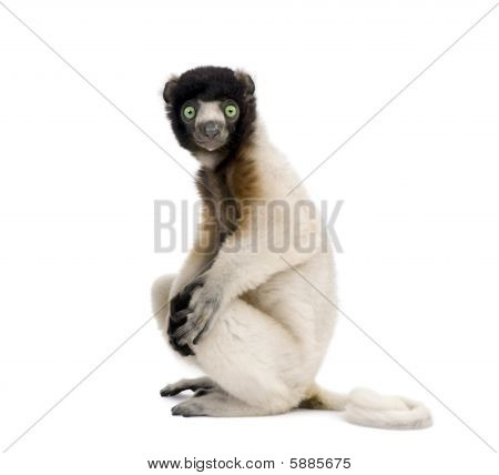 Portrait Of Young Crowned Sifaka, Propithecus Coronatus, 1 Year Old, Sitting Against White Backgroun