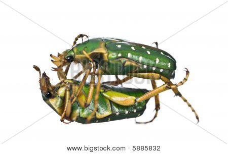 East Africa Flower Beetles Fighting, Stephanorrhina Guttata, In Front Of White Background, Studio Sh