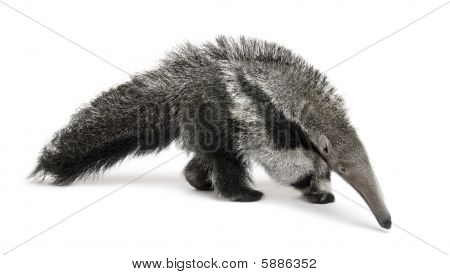 Young Giant Anteater Myrmecophaga tridactyla 3 months old walking in front of white background studio shot poster