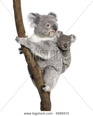 Koala 4 Years Old And 9 Months Old - Phascolarctos Cinereus