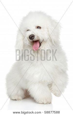 Bichon-frise Dog Portrait