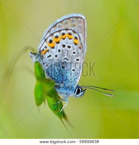beautiful butterfly in natural habitat (plebejus argus)