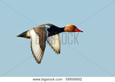 red crested pochard (Netta Rufina) flying outdoor