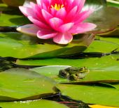 Small frog on a lily pad in a pond with a blooming pink lily. poster