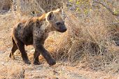 Small hyena pup playing walking outside its den in early morning sun poster