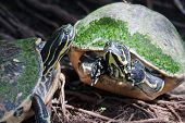 Painted turtle in wildlife on the waters edge in soft focus poster