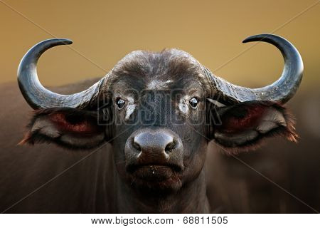 African buffalo cow (Syncerus caffer) portrait - Kruger National Park (South Africa)