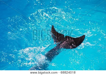 large tail fins large mammal dolphin dive in the sea surface poster