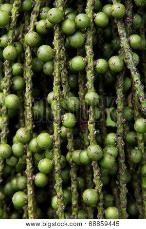 arenga pinnata palm seed background