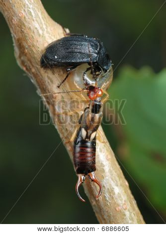 Carrion Beetle And Earwig About An Empty Shell.