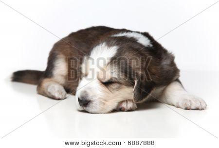 Little Resting Puppy