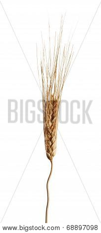 Ripe Golden Ear Of Wheat