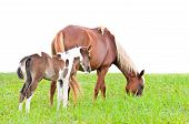 Brown mare and foal isolated on white in a field of grass. poster