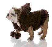 dog wearing brown sweater - english bulldog female - nine weeks old poster