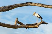 Asian Openbill (Anastomus oscitans) White bird standing alone on trees that died in the drought poster