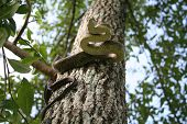 yellow rat snake up in a tree in a defensive posture poster