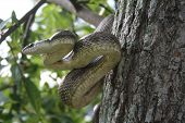side view of yellow rat snake in striking position, he was looking at my dad poster