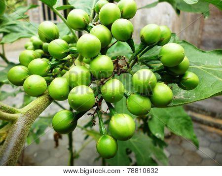 Solanum torvum swartz