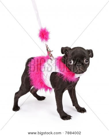 Black Pug Puppy In Pink Outfit