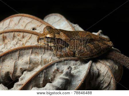 common tree frog on dry leaf