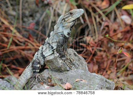 iguana leaning on a dead coral