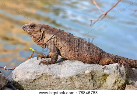 Iguana leaning on a rock
