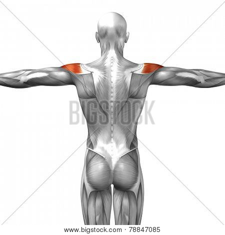 Concept or conceptual 3D deltoid or back human anatomy or anatomical and muscle isolated on white background poster