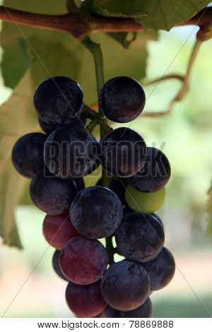 Close-up of wine grapes on the vine, ready for the harvest.