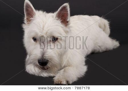 Studio shot of West Highland Terrier against black background poster