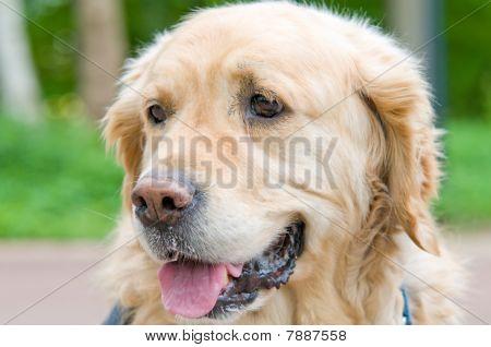 Closeup portrait of a beautiful Golden Retriever. poster