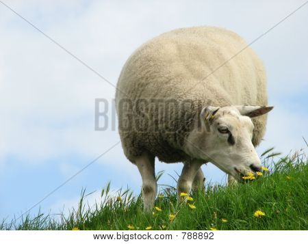 Grazing sheep on Texel (The Netherlands) poster